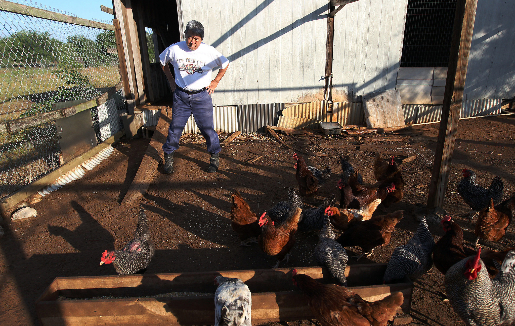 A middle-aged Asian American man stands with his hands on his hips watching chickens eat.